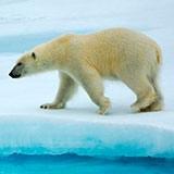 Раскраска белый медведь