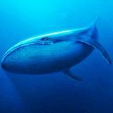 Раскраска кит
