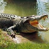 Раскраска крокодил