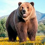 Раскраска медведь
