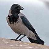 Раскраска ворона