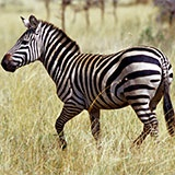 Раскраска зебра