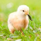 Раскраска цыплёнок