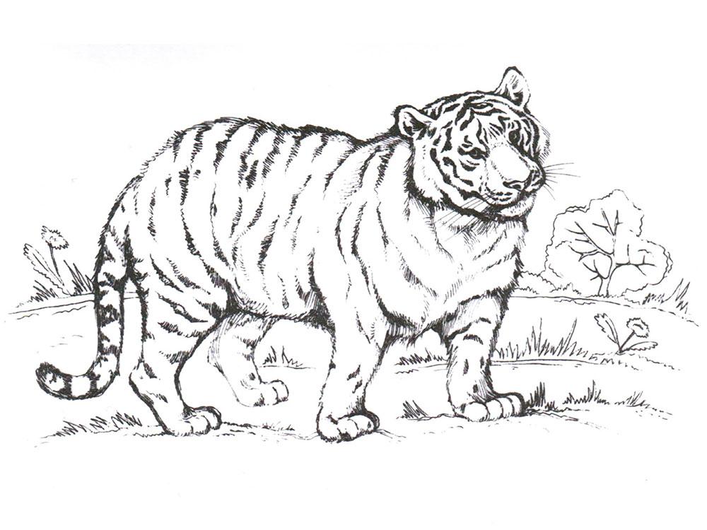 хотела амурский тигр раскраска с описанием съехались