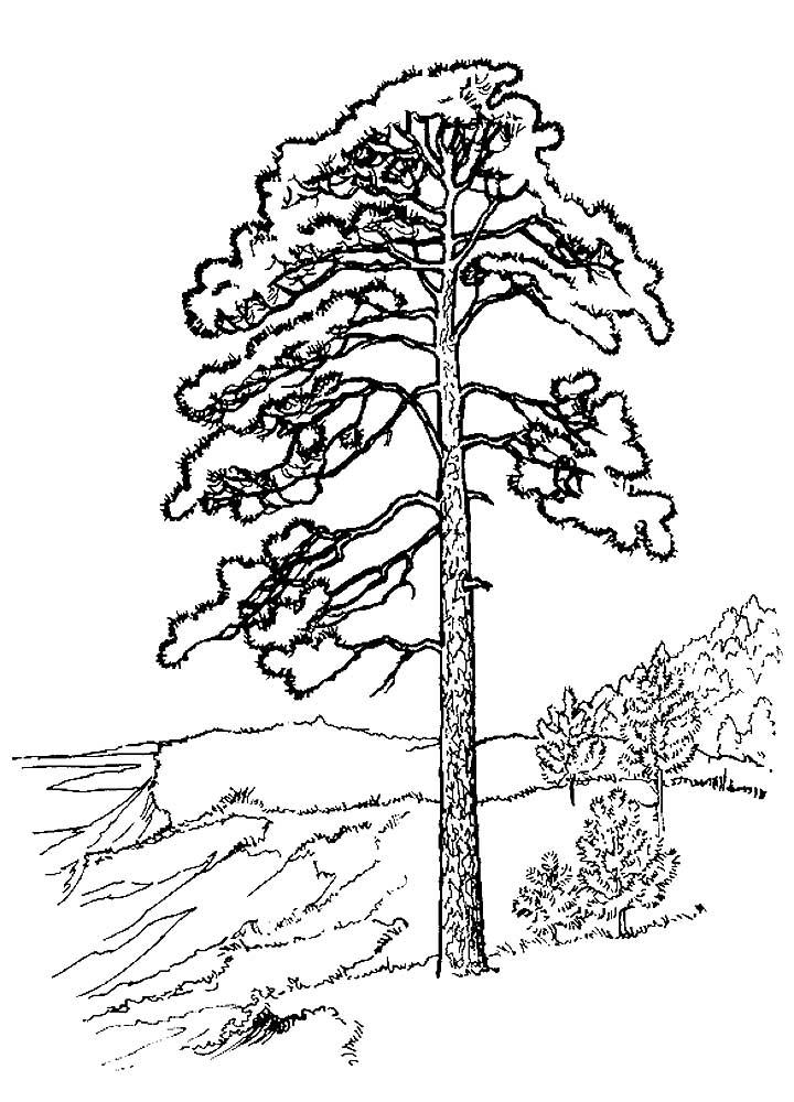раскраска сосна дерево правило, изображение этой