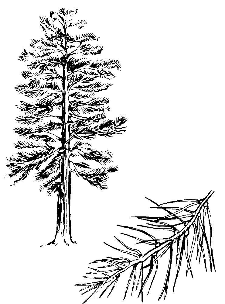 раскраска сосна дерево нам