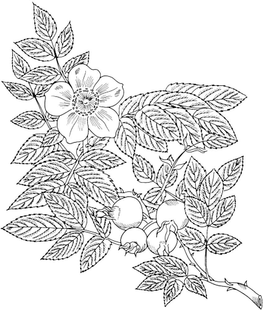 Раскраска цветы и ягоды шиповника скачать и распечатать