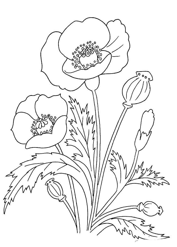 цветок мак картинка распечатать шаблон потом перешла