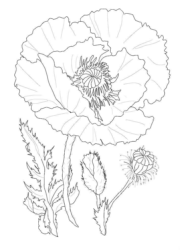 Цветок мак картинка распечатать шаблон
