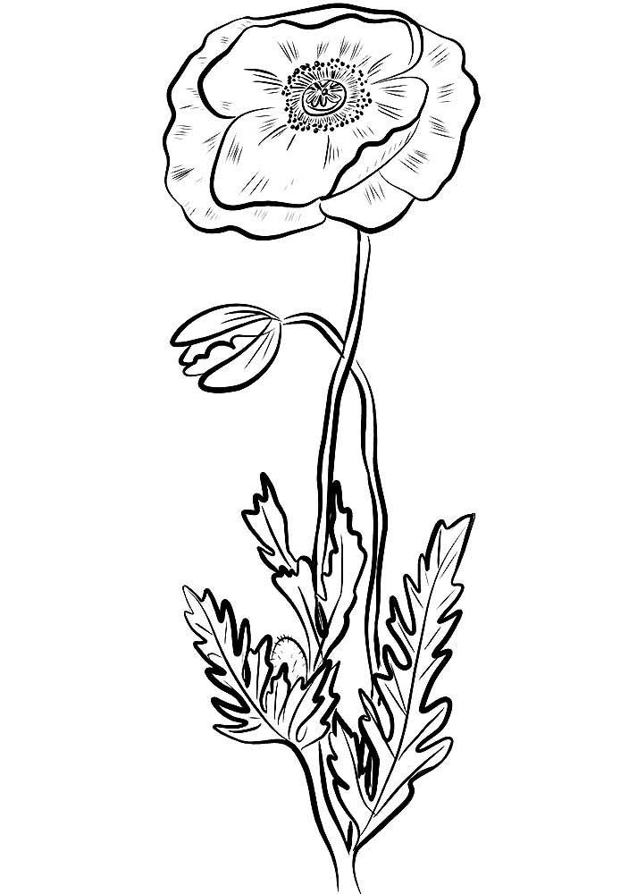 Картинки маки цветы для раскрашивания