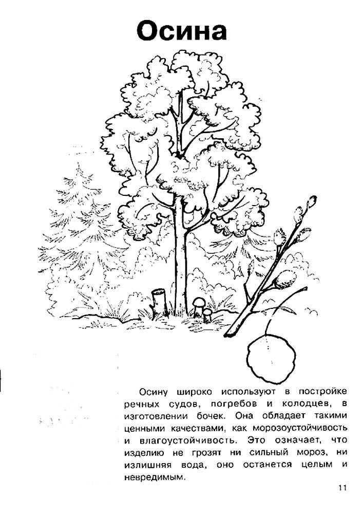 Раскраска дерево осина скачать и распечатать