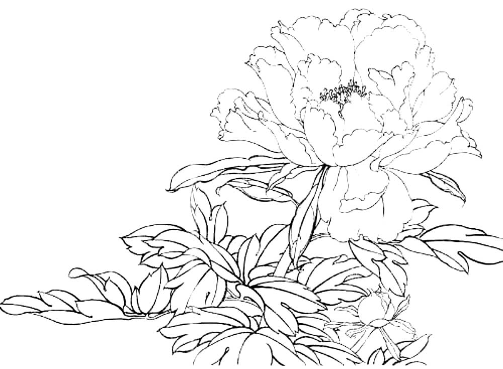 Раскраски цветка пион скачать и распечатать