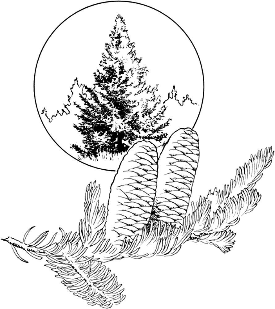 Картинка раскраска хвойный лес