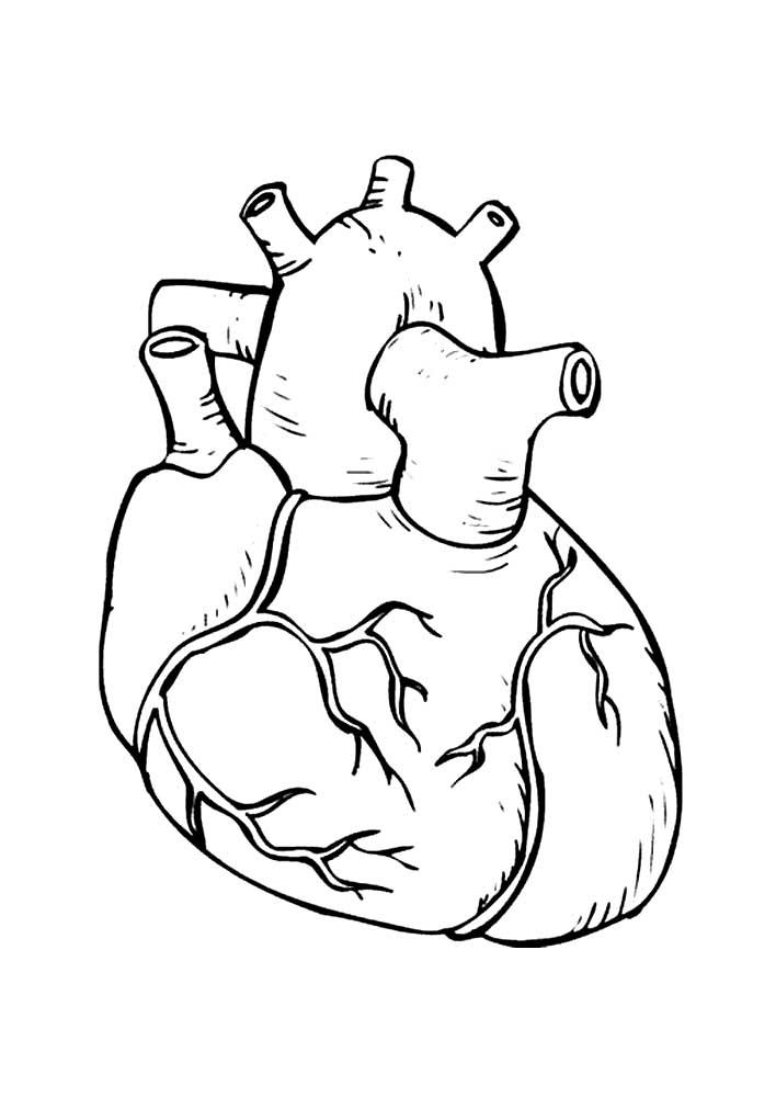 Раскраска сердце человека скачать и распечатать