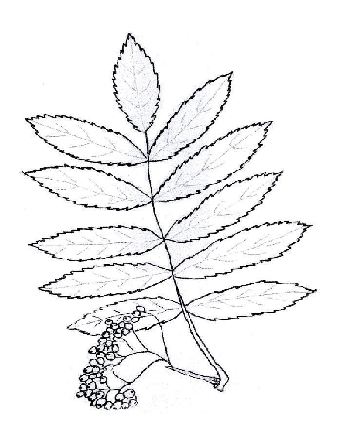 раскраска листья деревьев скачать и распечатать